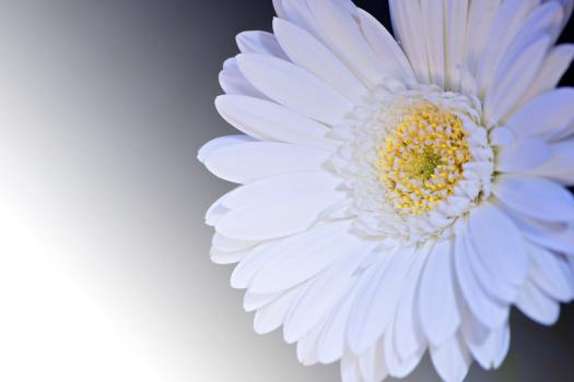 gerbera-flower-blossom-bloom-99554